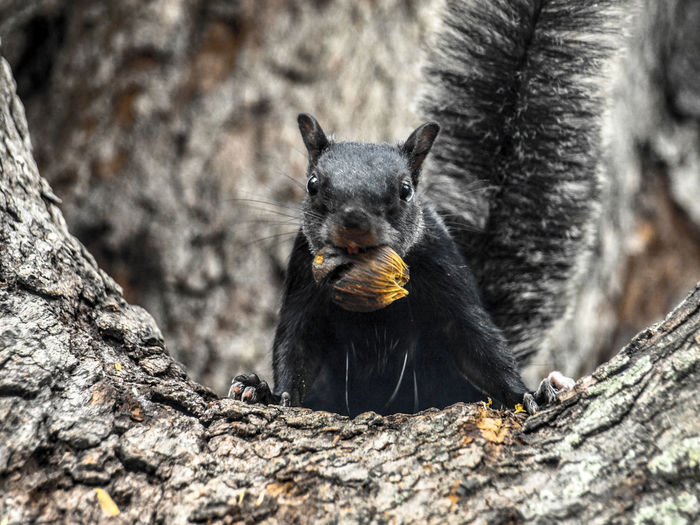 Close-up of squirrel eating food on tree trunk