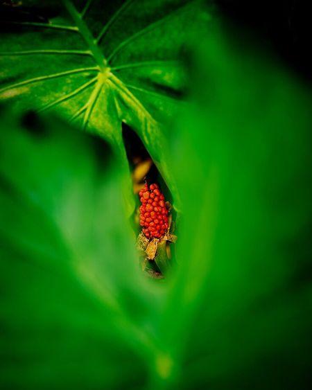 沖縄 Green Color Leaf Red No People Nature Outdoors Day Growth Fruit Close-up Beauty In Nature Animal Themes Freshness