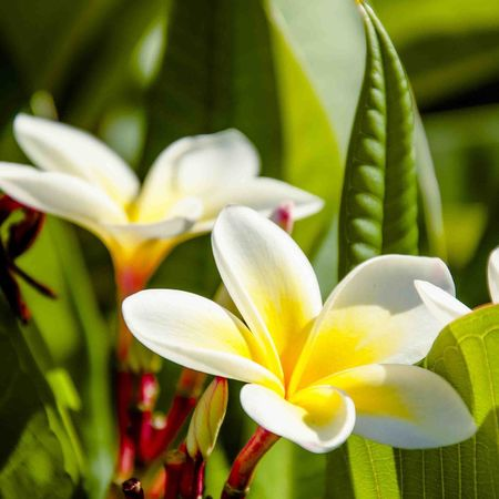 Tropical Frangipani in the Summer Morning Sunshine Robyn Haworth Flower Flowers Nature Photography Adelaide Adelaide, South Australia