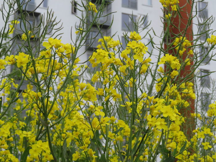 Flower Tree Yellow City Flower Head Springtime Architecture Building Exterior Plant In Bloom