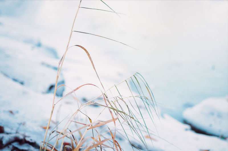 Sagging straws near the frozen lake. Beauty In Nature Blue Calm Closeup Cold Crispy Cold Morning Daytime Fragile Frosty Frozen Frozen Lake Ice Lake Lake Nature No People Outdoors Sagging  Serenity Snow Straws Tranquility Tranquille Scene White Winter