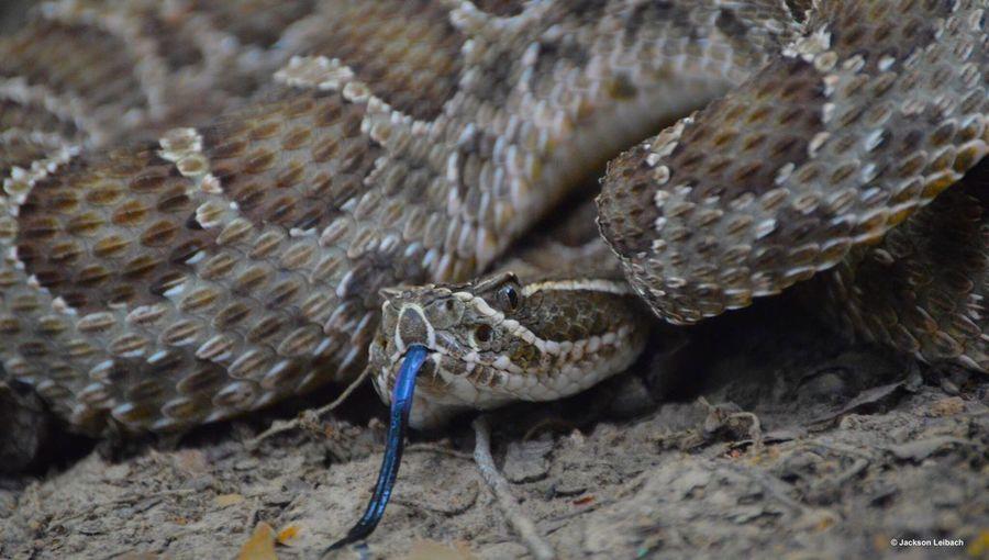 Rattlesnake Sisturus Catenatus