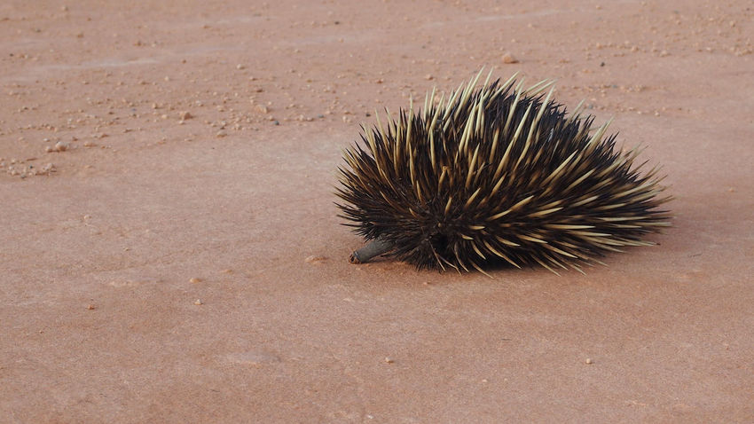 Australia Australian Landscape Echidna Exploring Holidays Shark Bay Australia Travel Travel Photography Western Australia World Heritage Animal Themes Animals In The Wild Australia & Travel Australian Wildlife Close-up Day Hedgehog Landscape Mammal Nature No People On The Road One Animal Outdoors Photography Road Trip Shark Bay Spiked Travel Destinations Vacation Wildlife