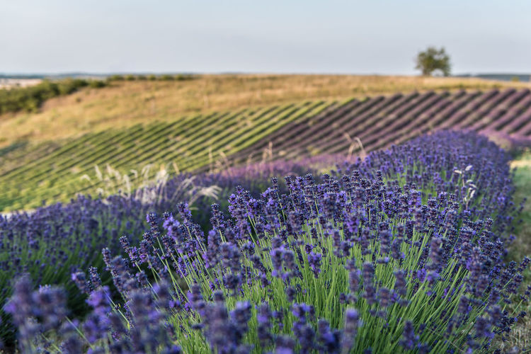 Nature Flower Lavender Landscape Day Field Outdoors Purple Plant Agriculture Growth Scenics Beauty In Nature No People Rural Scene Lavender Colored Farm Tranquil Scene Freshness Fragility Close-up