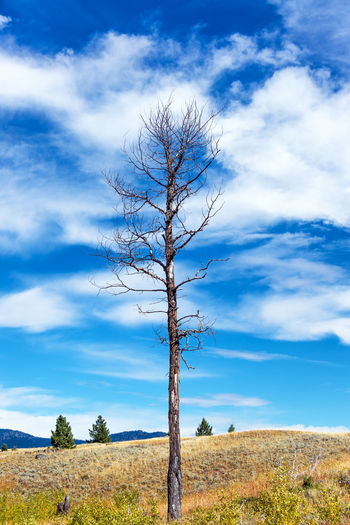View of a big dead tree in Yellowstone National Park Absaroka Cloud National Park Nature Pinus Rock Tree Trees USA United States View Wyoming Yellowstone Yellowstone National Park America Blue Sky Clouds Forest Landscape Mountain Mountain Range Pinus Contorta Travel Destinations Valley Wilderness