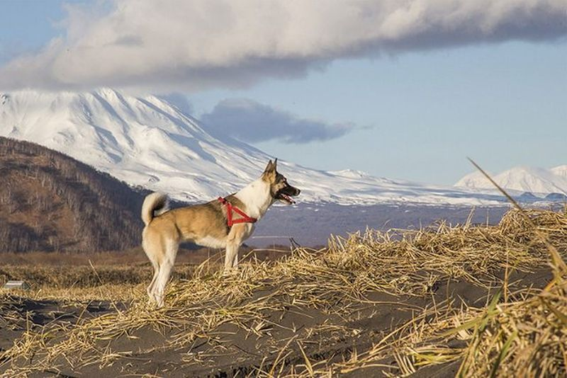 Моя барабака Yanka_partisanka Ненси лайка осень собака вулкан камчатка