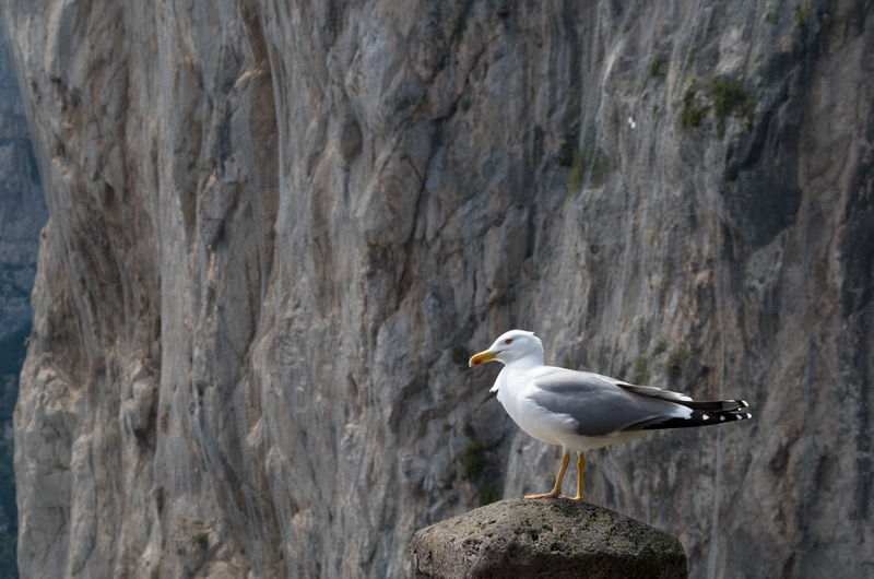 Seagull perching on rock