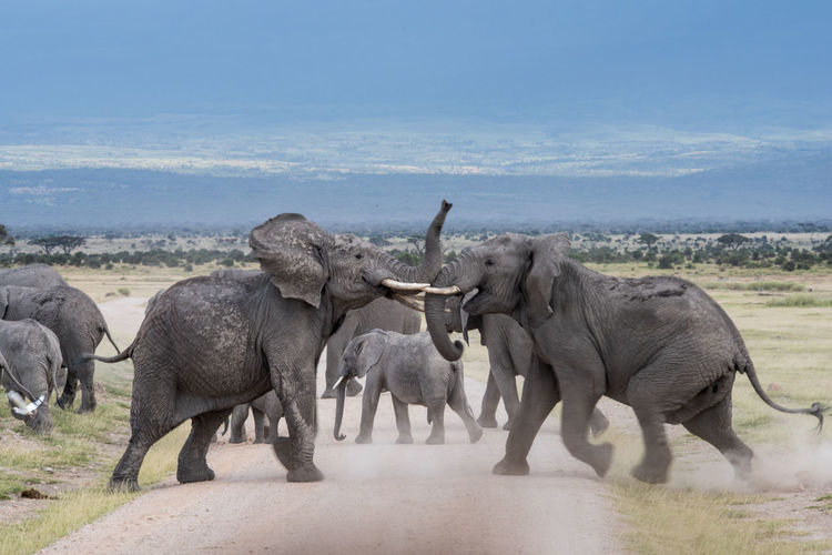 Africa African Elephant Dust Elephant Elephants Elephants Fighting Herd Of Elephants Road Safari Safari Animals Wild Wildlife