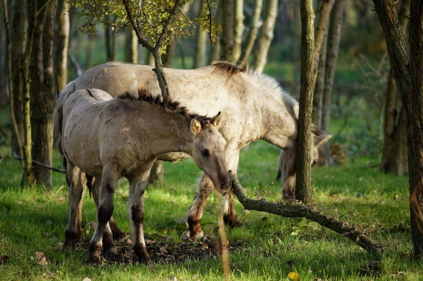 Scratching horses Scratching Konik Horses Animal Themes Animal Mammal Animal Wildlife Plant Vertebrate Domestic Animals Animals In The Wild
