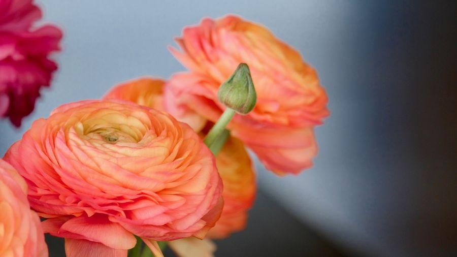 Close-up of orange rose against blue background