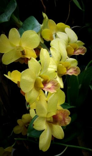 Yellow Orchid flower, flowersporn, taking on the Street, Getting In Spired. ,