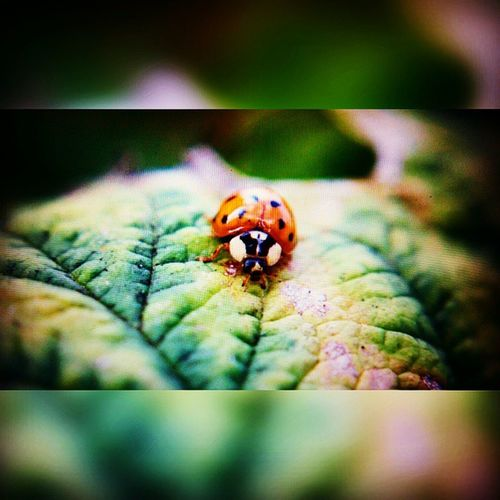 Only an asian ladybug.... (Preview) Fotografie Cute Marienkäfer Macrolens Makrofotografie Insektenfotos Salzgitter Asianladybug Natur Naturephotography Animalfotography Tierfotografie Home Garden Inthegard Photographyislife Photgraphy Asiatischermarienkäfer Garten ImGarten Homesweethome Makrophotography Makrophoto Ladybug