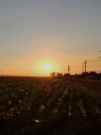 Sunset golden moments, sun saying goodnight to field of sunflowers, loving life ,