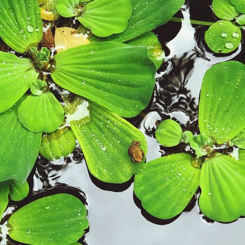 High angle view of raindrops on leaves floating on lake