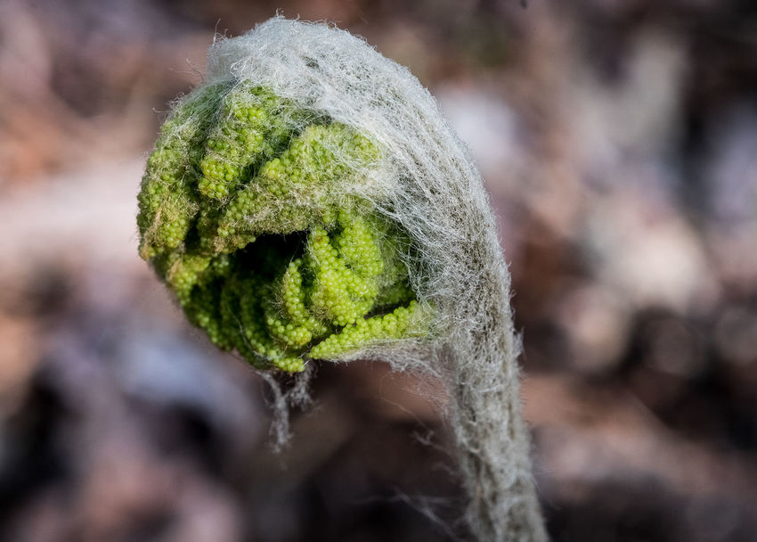 Beauty In Nature Botany Close-up Fern Fiddleheads Nature Plant Renewal  Spring