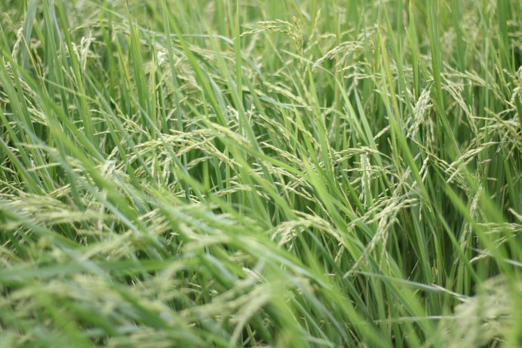 Green rice plant in the rice field.