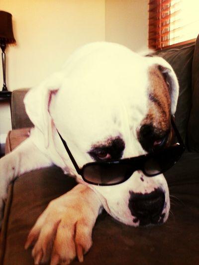 Bulldog Shades