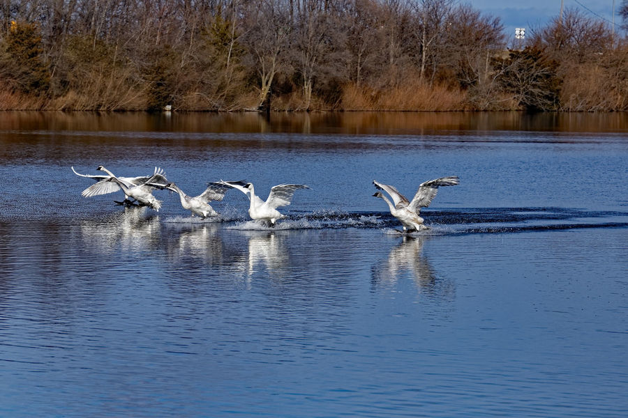 Trumpeter Swans landing on a pond in North Central, Iowa. Beauty In Nature Bird Flying Iowa Landing Nature Outdoors Scenics Spread Wings Swag Trumpeter Swan Water Wildlife