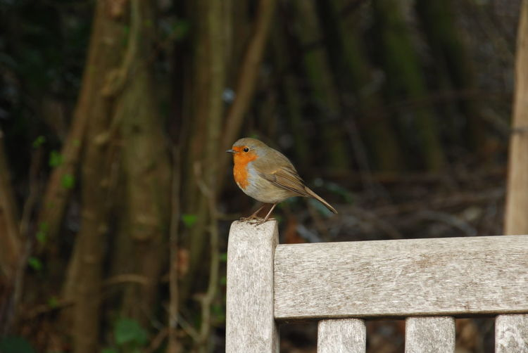 View of small brown bird on wooden fence
