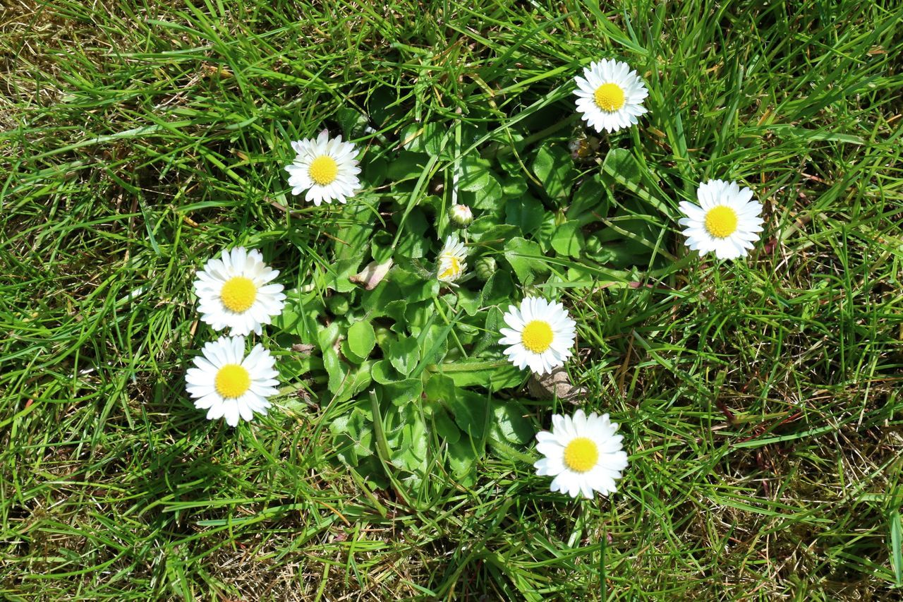 High Angle View Of Daisies Blooming Outdoors