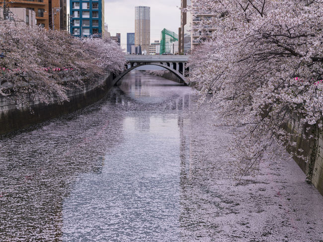 In the petals of cherry tree has become a river one side pink. Architecture Building Built Structure Canal City Day Diminishing Perspective Growth Nature No People Outdoors Plant The Way Forward Ultimate Japan Walkway Water
