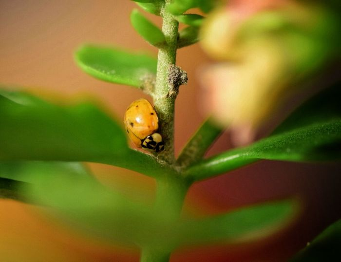 travelling on... Lady Bug Polka Dots  Insect Exploring Green Color Leaf Foliage Soulshine Ladybugs Littlt Legs Godsartwork Happigramma Thesmallestlittlethings Heaven Shines EyeEm Gallery EyeEm Best Shots God Loves Them All Eyeem This Week Essence Of Life Stoneville, Nc A Lady Camera Is My Life Macro Photography Cutie Bug Ladybug
