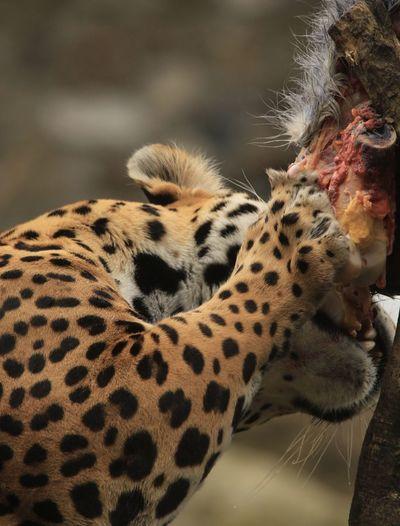 Close-up of jaguar eating prey