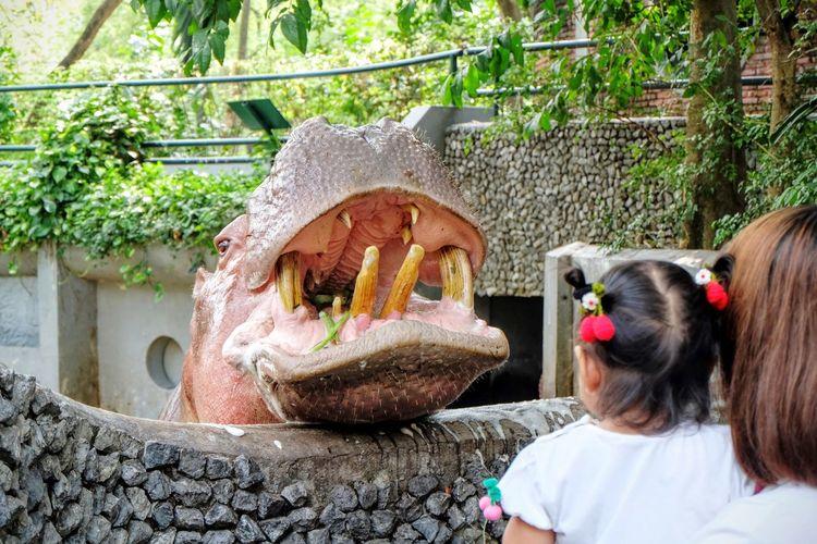 hippopotamus in the zoo Hippopotamus Child Yong Little Girl Animal Zoo Animal Head  Animal Smile Theeth Cute