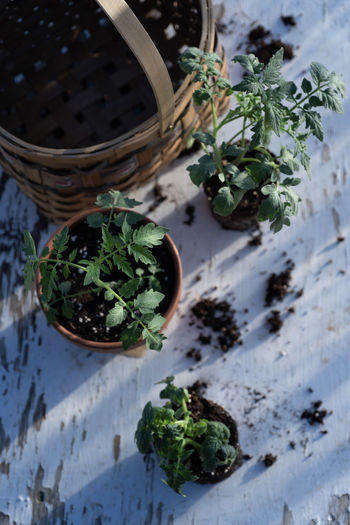 table top view of gardening or potting bench with young tomato plants, clay pot, garden basket Gardening Above Basket Container Freshness Green Color Growing Plants Herb Leaf Nature No People Plant Plant Part Potted Plant Potted Plants Seedlings Tomato Plant Tomato Plants