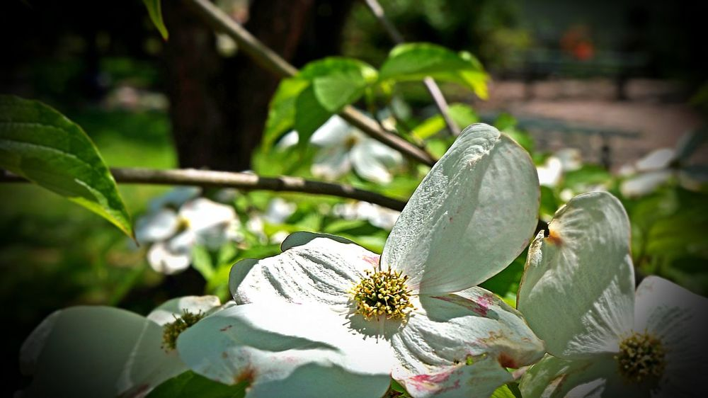 Dogwoods. Taking Photos Nature_ Collection  Flora Plants And Flowers Dogwoodflowers Dogwoods