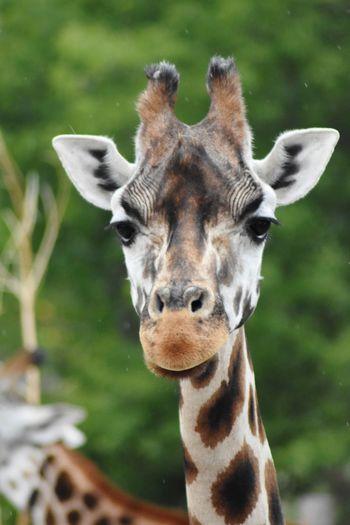 Zoology Zoo Zoo Animals  EyeEm Selects Portrait Looking At Camera Giraffe Close-up Animal Eye Animal Ear Animal Nose Animal Head  Animal Mouth Animal Face