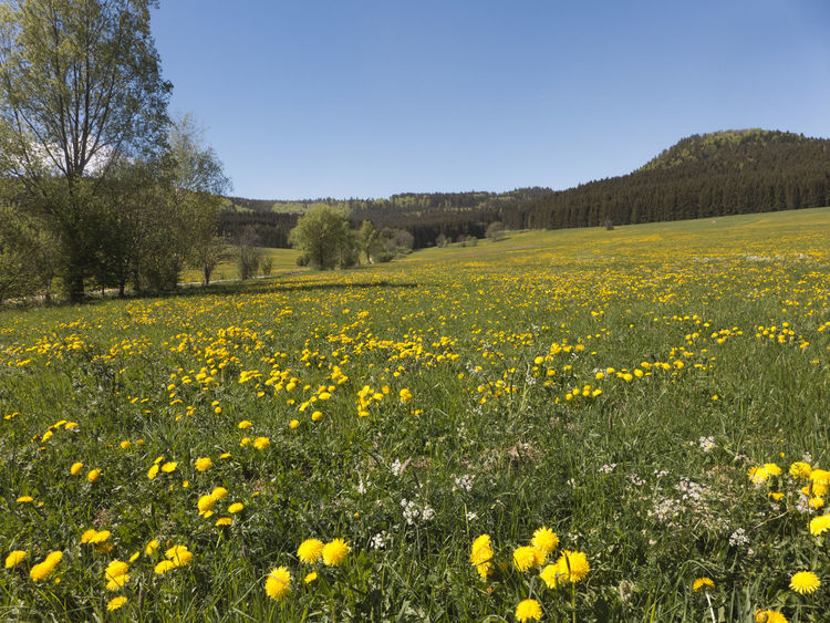 Meadows full of flowering dandelions on the long-distance hiking trail Albsteig on the Swabian Alb in the south of Germany. A beautiful sight. It's spring. Albsteig Flowering Plant Pasture Beauty In Nature Clear Sky Dandelion Environment Field Flower Flowerbed Flowering Plant Grass Growth Land Landscape Meadow Outdoors Plant Scenics - Nature Schwäbische Alb Sky Springtime Tranquil Scene Tranquility Yellow