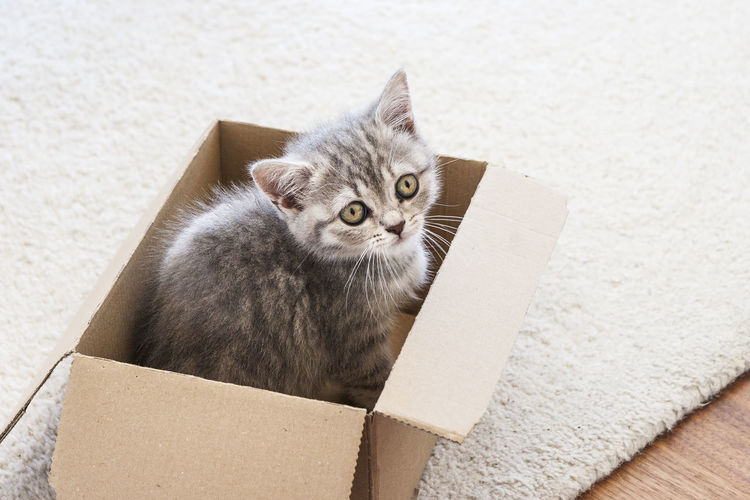CAT IN A BOX Animal Themes Baby Cat Box - Container Cardboard Cardboard Box Close-up Day Domestic Animals Domestic Cat Feline Fury Fury Friend Indoors  Looking At Camera Mammal No People One Animal Pets Portrait Sitting Whisker