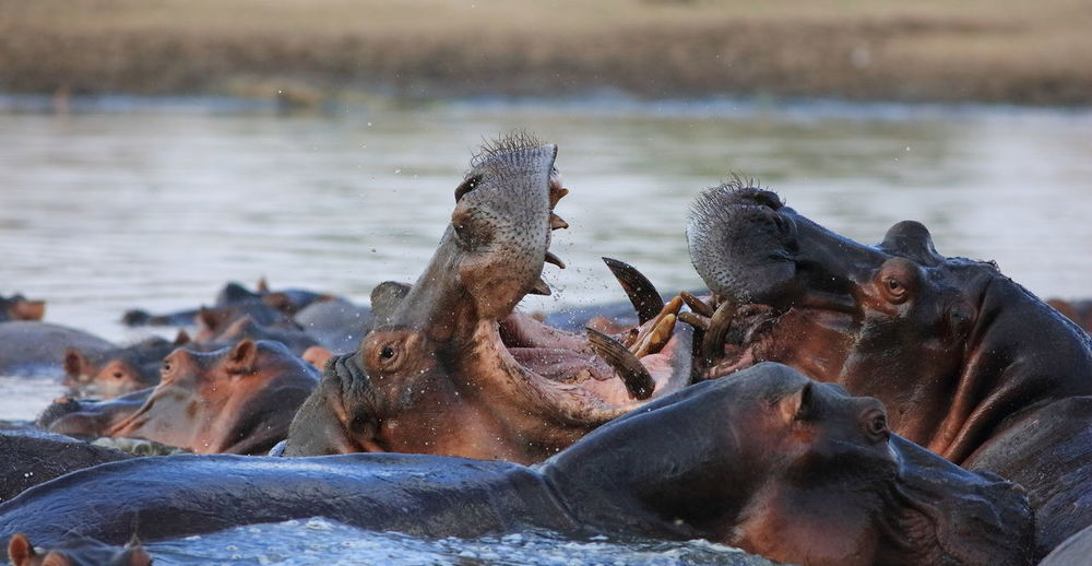 South Luangwa valley, Zambia Africa Agressive Attack Beauty In Nature Close-up Different Perspective EyeEm Best Shots EyeEm Gallery Fightclub Fighter Fighting Hipo Hipo Fighting Lakeshore Powerful Powerful Nature Teething Wildlife Wildlife & Nature Wildlife Collection Wildlife Photography