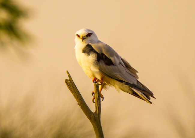 Animal Wildlife Animals In The Wild Bird Bird Of Prey Bird Photography Birds With Red Eyes Black-winged Kite Elanus Caeruleus European Birds Nature Nature Photography No People One Animal Western Palearctic Wildlife & Nature Wildlife Photography