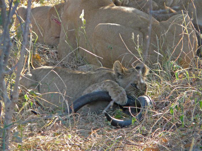 Africa Animal Themes Animal Wildlife Animals In The Wild Beauty In Nature Botswana Day Kudu Horn Lion Lion - Feline Lion Cub Mammal Nature No People Outdoors Safari Animals Travel