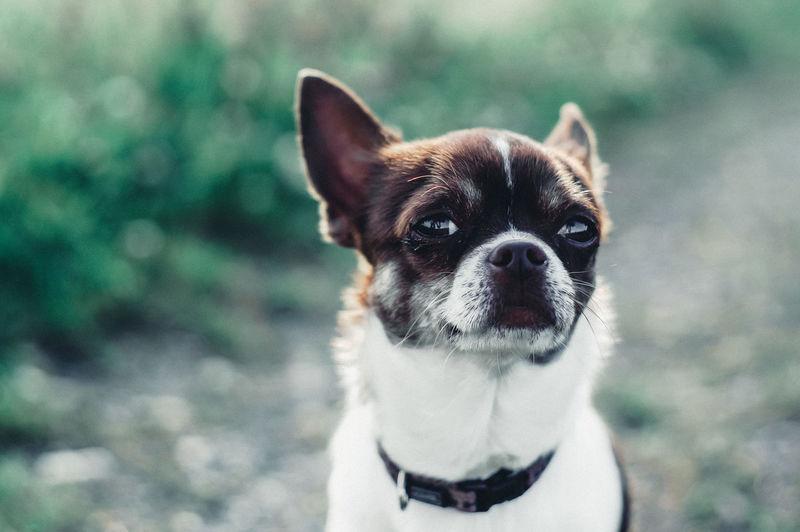 Chihuahua Chihuahua - Dog EyeEm Best Shots EyeEm Gallery EyeEmBestPics Outdoors Beauty Cute Eyes Reflection Nature Mood Pets Portrait Dog Looking At Camera Close-up Puppy Purebred Dog
