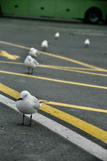 Seagull on road