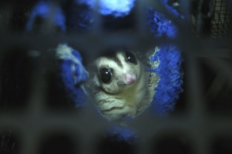 sugar glider Sugar Glider Animal Hewan Imut Underwater Blue Close-up