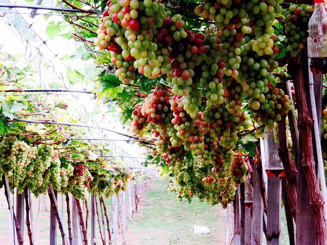 Grapes Winery Fruits Grapevines  Grapes! Nova Petrópolis Check This Out Spring Into Spring