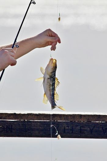 Fish Fishing Hook Fishing Animal Human Hand Human Body Part One Person Holding Catch Of Fish Food Activity Animal Themes Fishing Rod Hanging Rod Seafood Catching Outdoors Human Limb