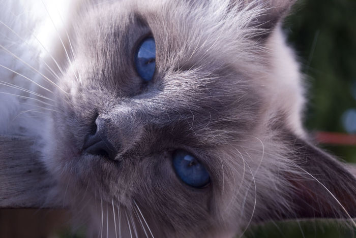 Animal Themes Cat Close-up Day Domestic Animals Domestic Cat Feline Indoors  Looking At Camera Mammal Nature No People One Animal Pets Portrait Siamese Cat Whisker Yellow Eyes