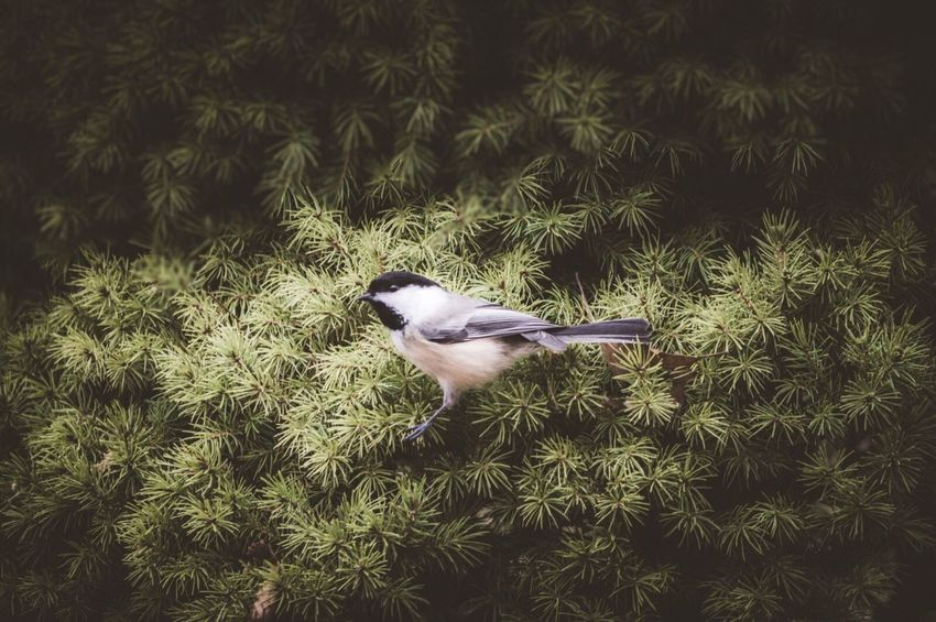One Animal Animal Themes Bird Animals In The Wild Animal Wildlife Nature No People Outdoors Day Chicadee Mammal
