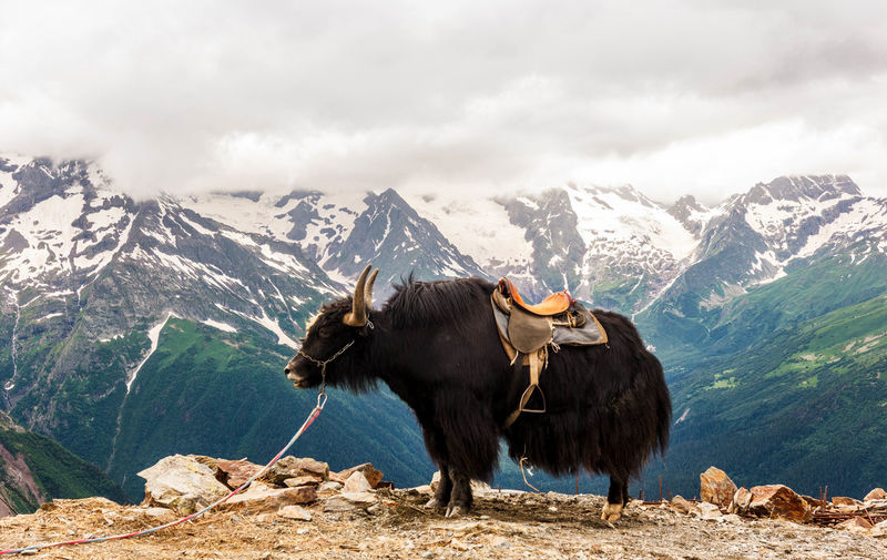 Yak in the mountains