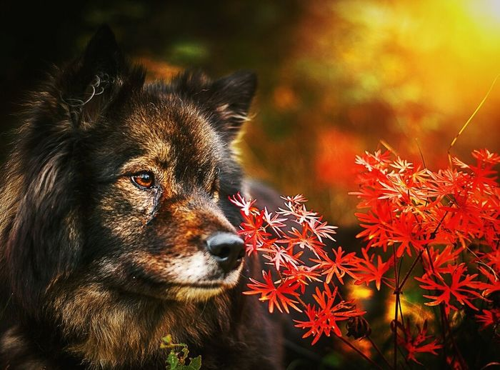 Autumn dog No People One Animal Close-up Animal Themes Outdoors Day Dog Love Fantasy Nature Finnishlapphund Finnish Lapphund Dog Outdoors Dog Beautiful Sunset Dogslife Orange Beauty In Nature Happy Doglover Autumn Autumn Colors Autumn Leaves Fall Fall Beauty