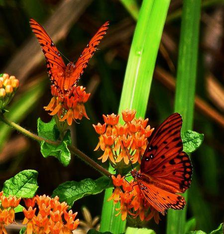 Orange Julius.... EyeEm Nature Lover EyeEm Best Shots - Nature Butterfly Nature Photography Naturelovers