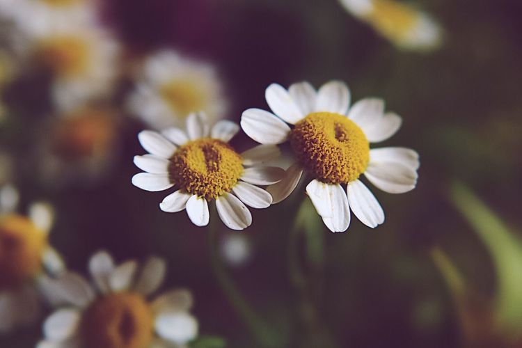 Check This Out EyeEm EyeEm Best Shots Photooftheday Popular Photos EyeEm Gallery Flower Flowering Plant Freshness Fragility Vulnerability  Petal Plant Flower Head White Color Nature Pollen No People Day Yellow
