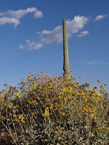 Desert wildflowers surround a lone Saguaro Cactus. Growth Plant Sky No People Nature Low Angle View Day Outdoors Cloud - Sky Landscape Flower Blue Beauty In Nature Grass Saguaro Cactus Sonoran Desert Yellow Flowers Wildflowers Backgrounds Editorial  Desert Flowers The Great Outdoors - 2017 EyeEm Awards
