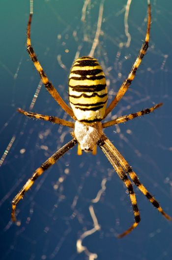 wasp spider Spider Animal Themes Close-up Day No People One Animal Outdoors Wasp Spider