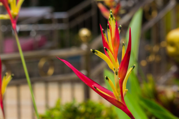 Thailand Flower Backgrounds Nature Beauty In Nature Plant Blosom Beuty Summer Thai Park Tree Garden ASIA Art Colors Close-up